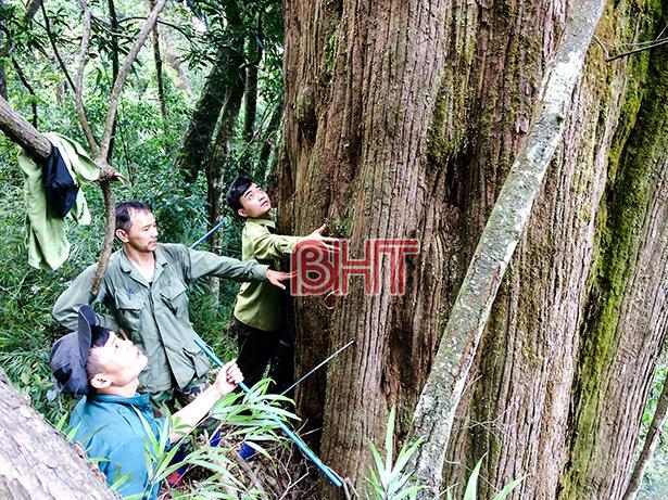 Phát hiện cây pơ mu gần 1.000 năm tuổi tại Vườn quốc gia Vũ Quang