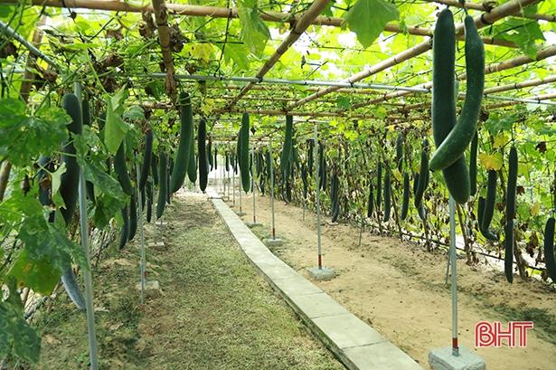 Nông dân Tượng Sơn trồng bí xanh ước thu 14 tỷ đồng