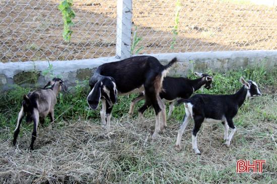 Hương Sơn hỗ trợ nâng cao chất lượng đàn dê