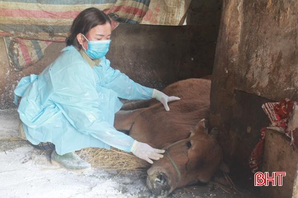 Chưa dứt viêm da nổi cục trên trâu bò, nông dân Can Lộc lại khổ vì tả lợn châu Phi